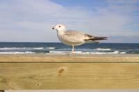 Seevogel am Strand des Atlantik in der Nähe von Daytona Beach in Florida