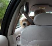 Im Taxivom Cedar Key Airport in die Stadt: Der Hund der Fahrerin fährt mit.