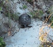 Schildkröte in den Dünen, gesehen am Ponce Inlet in Florida